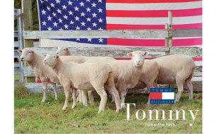 tommy_sheep_0