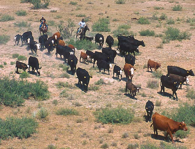 Cattle during a roundup session