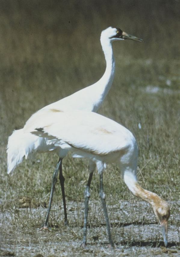 Whooping Cranes - Wikipedia Photo