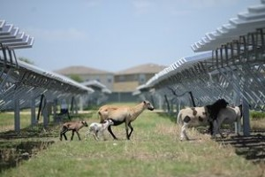 Sheep grazing at 45 acre San Antonio OCI Solar Power farm Photo by Charlie Pearce