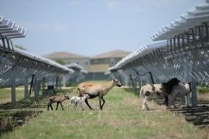 Sheep grazing at 45 acre San Antonio OCI Solar Power farm Photo by Charlie Pearce